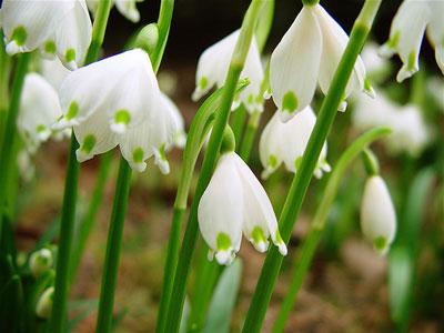 Spring Wedding Flowers: snowflakes